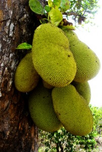 107546796-jack-fruit-on-tree-gettyimages