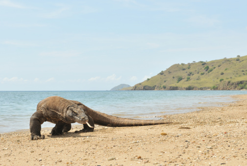 142765177-komodo-dragon-in-flores-indonesia-gettyimages