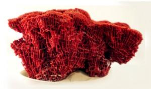 red-organ-coral-490_13456_1